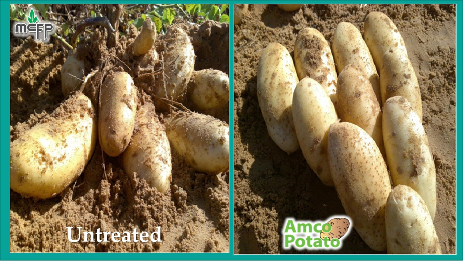 Feedback of Amco Potato